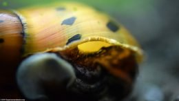 Tiger Nerite Snail Shell, Upclose