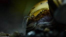 Tiger Nerite Snail: Shell And Eye, Upclose