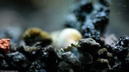 Trumpet Snail Digging In Substrate