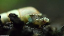 Trumpet Snail Mouth, Upclose
