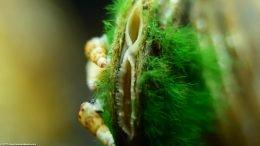 Trumpet Snails Near Asian Gold Clam Siphons