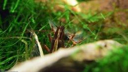 Two Bamboo Shrimp, Closeup