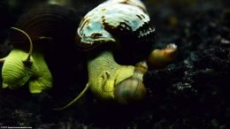 Two Gold Rabbit Snails And A Trumpet Snail