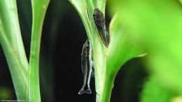 Two Otocinclus Catfish On A White Sandriana Plant