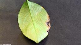 Anubias Barteri Leaf Damage