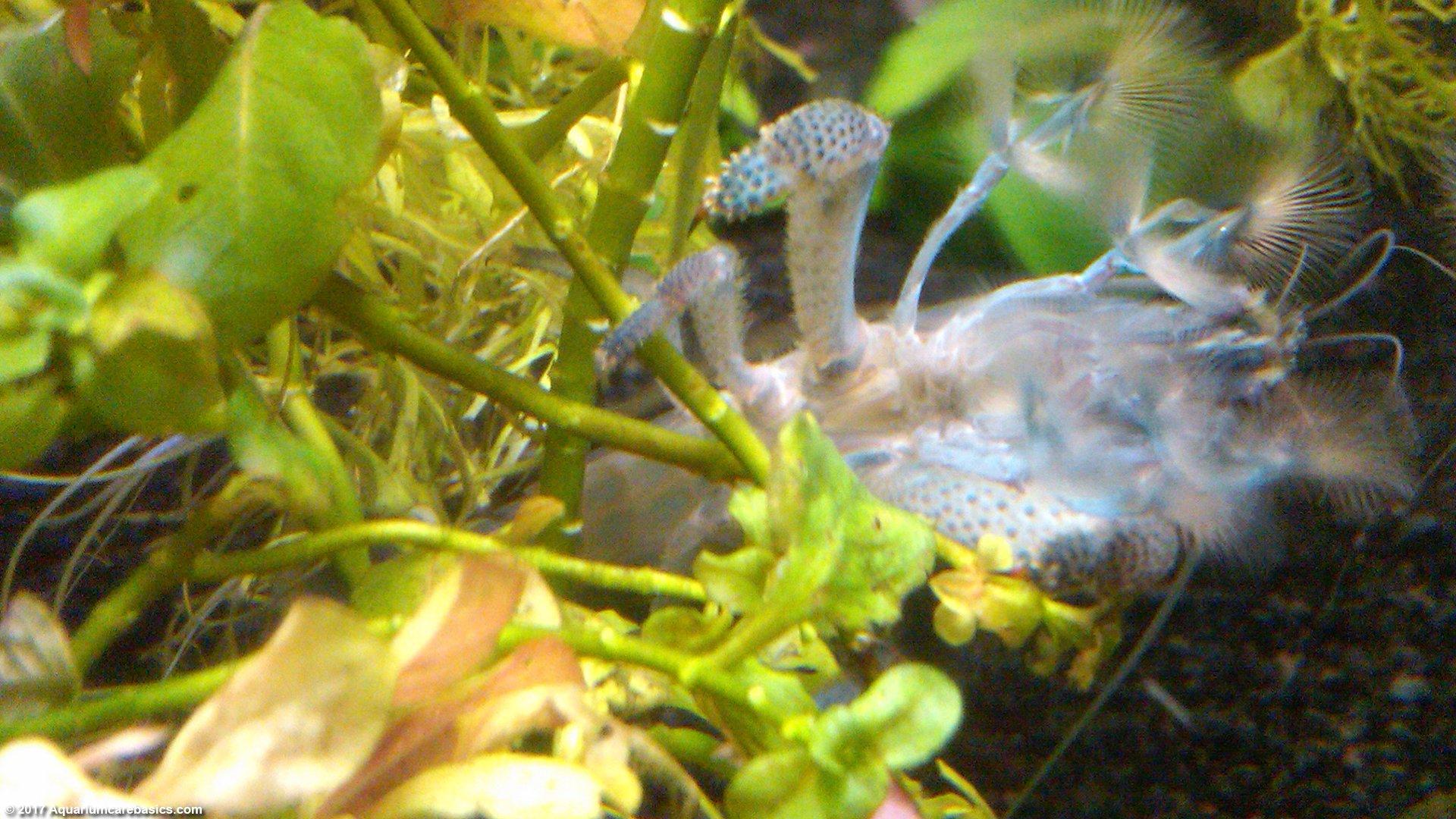 Vampire Shrimp Care Food Tank Mates Video