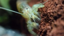 Vampire Shrimp Are Fan Feeders