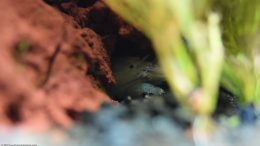 Vampire Shrimp Hiding