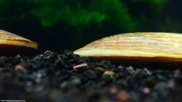 Ventral Side Of An Asian Gold Clam