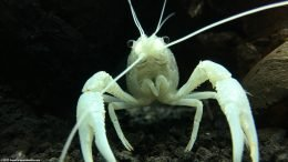 White Crayfish On Black Substrate