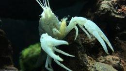 White Crayfish Feeding Appendages Upclose
