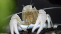White Crayfish, Front View