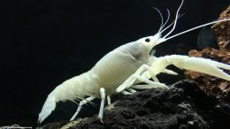 White Crayfish On A Lava Rock