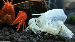 White Crayfish Left Its Molted Shell