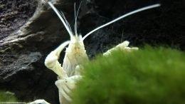 White Crayfish Crawling Up Moss Ball