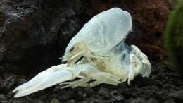 White Crayfish Shell After Molting
