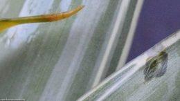 White Sanderiana Showing Leaf Damage
