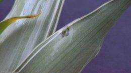 White Sanderiana Leaves