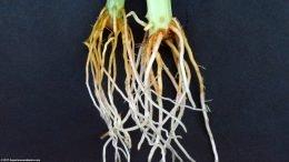 White Sanderiana Roots, Upclose