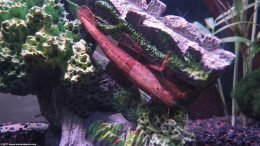 Brown Reddish Wood Shrimp In A Freshwater Tank