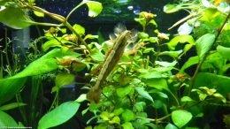 Wood Shrimp Feeding: Standing On Aquarium Plants
