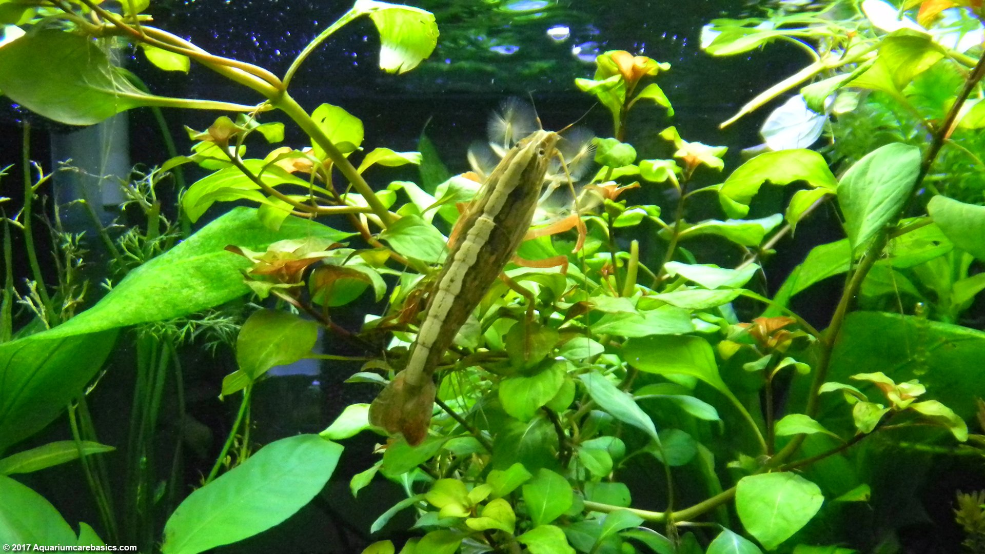 Freshwater Shrimp Can Be Great Additions To A Tank - VideoFreshwater Shrimp Care