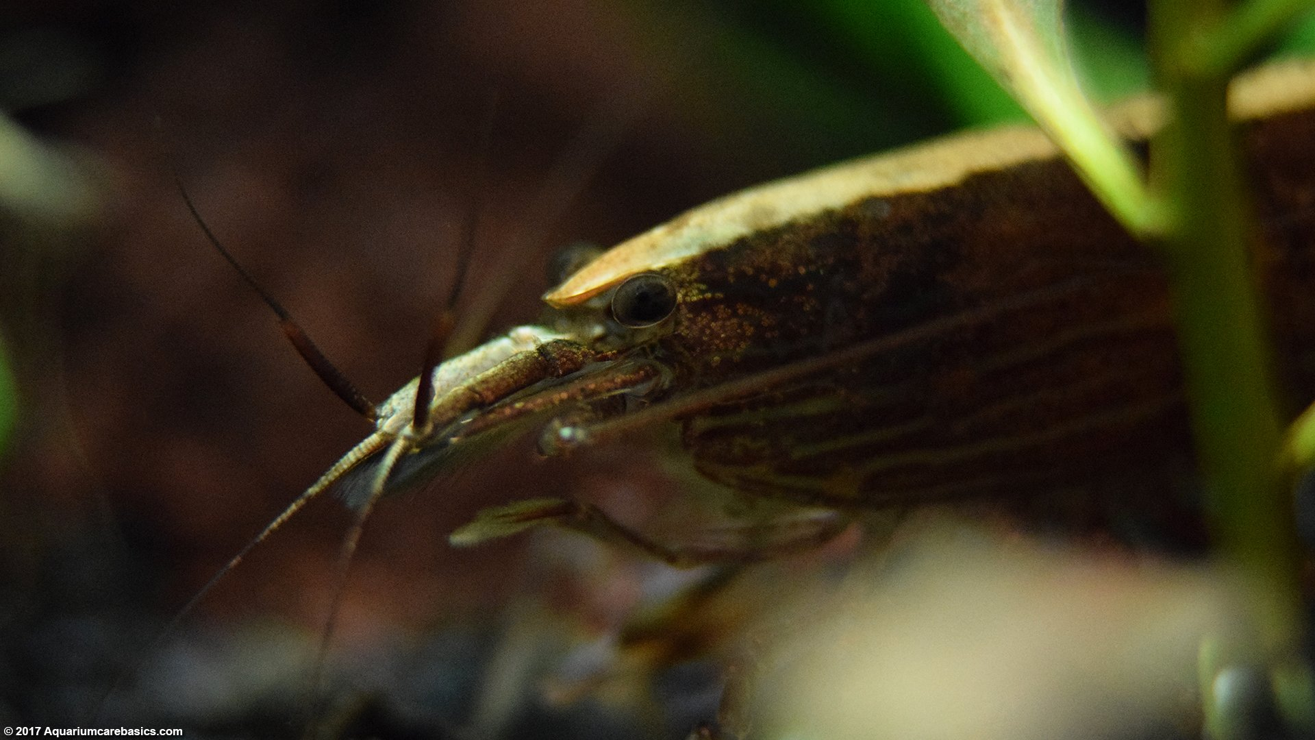 Wood Shrimp: Head And Eyes, Closeup