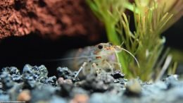 Yamato Shrimp Under A Lava Rock
