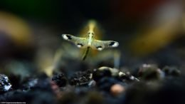Yamato Shrimp Showing Tail And Feces