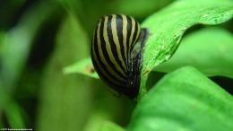 Zebra Nerite Snail On Anubias Barteri Leaf