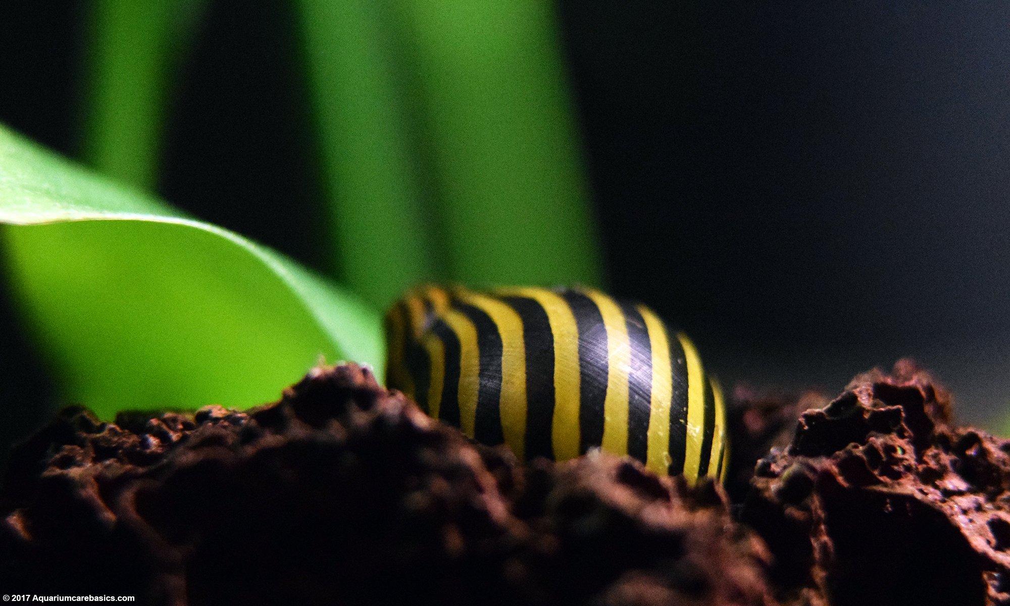 Zebra Nerite Snail Care Is Easy In Established Tanks