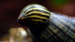 Zebra Nerite Snail Cleaning A Mystery Snail