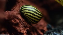 Zebra Nerite Snail Shell With Gold And Black Stripes