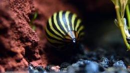 Zebra Nerite Snail On Lava Rock