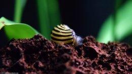 Zebra Nerite Snail Righting Itself