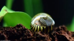 Zebra Nerite Snail Turning Over