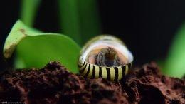 Zebra Nerite Snail Upside Down