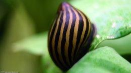 Zebra Snail In A Freshwater Aquarium